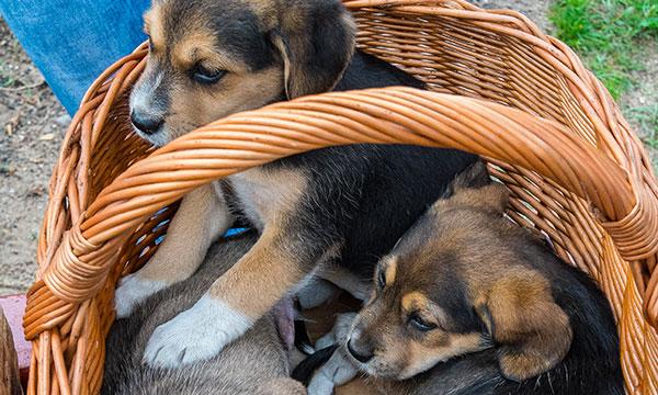 +++ 10.10.2020 – Welthundetag – AG Welpenhandel warnt vor illegalem Internethandel +++
